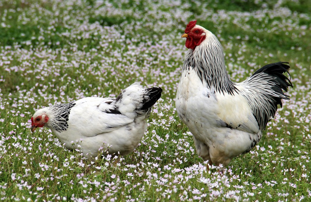Brahma Chickens Sweet Southern Blue