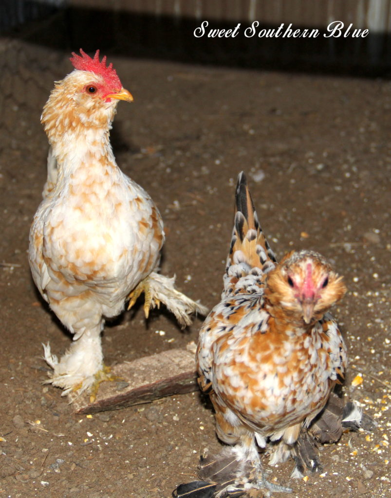 Barbu D Uccle Or Belgian D Uccle Chickens Sweet Southern