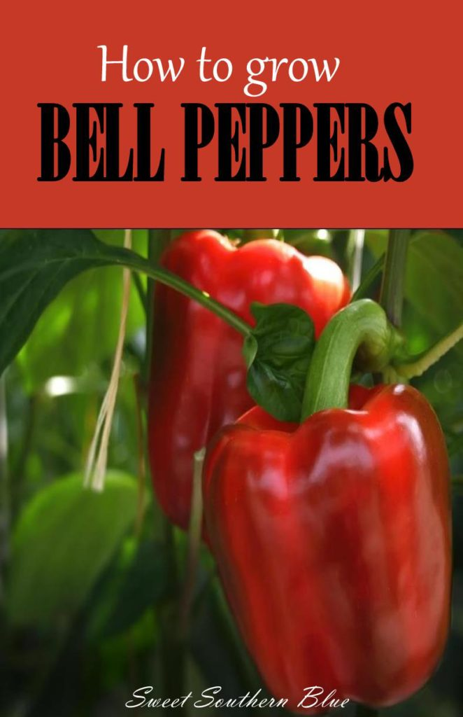 How To Grow Bell Peppers Sweet Southern Blue